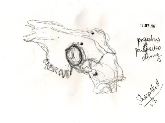 Sketch of sheep's skull from top with notes